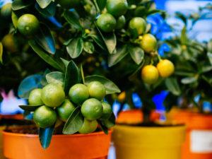 Piante da frutto bonsai
